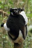 Indri Royalty-vrije Stock Foto's