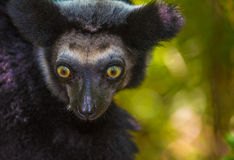 Indri,马达加斯加的最大的狐猴 库存图片