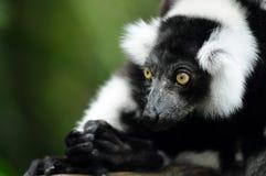 Indri Photos stock