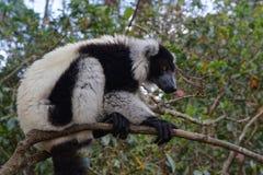 Indri Royalty Free Stock Photo