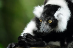 Indri. Also known as the black and white ruffed lemur Stock Photos