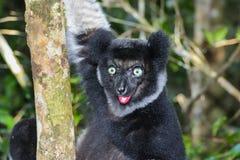 Indri, andasibe Royalty Free Stock Images