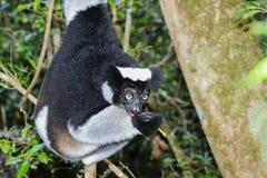 Indri, andasibe Stock Images