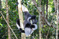 Indri, andasibe Royalty Free Stock Photo