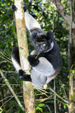 Indri, andasibe Stock Photos