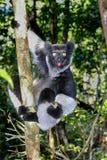 Indri, andasibe Foto de archivo