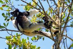 Indri avec des jeunes Photographie stock libre de droits