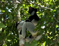 Indri, Indri indri. Indri in boom; Indri in tree royalty free stock images
