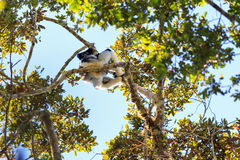 Indri canopy Stock Photo