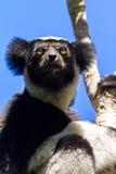 Indri Close up Stock Photos