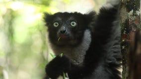 Indri de Indri del lémur de Indri almacen de metraje de vídeo