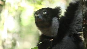 Indri de Indri del lémur de Indri almacen de video