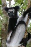 Indri de Indri Fotos de Stock
