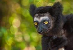 Indri, der größte Maki von Madagaskar Stockfotografie