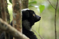 Indri detail Stock Photography