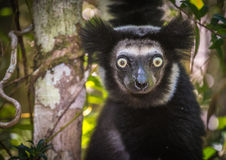 Indri, el lémur más grande de Madagascar Fotografía de archivo