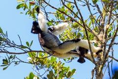 Indri fol Indri Photo libre de droits