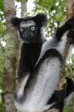 Indri indri Stock Photos