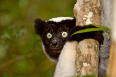 Indri Indri. Wild Indri Indri in Madagascar Royalty Free Stock Images
