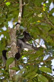 Indri Indri. Wild Indri Indri in Madagascar Stock Photography