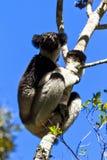 Indri Indri Andasibe Images libres de droits