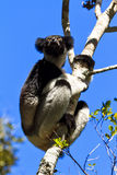 Indri Indri Andasibe Royalty Free Stock Images