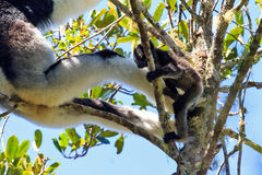 Indri Indri baby Stock Photos