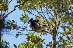 Indri Indri canopy Stock Photography
