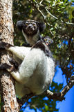 Indri Indri tree Royalty Free Stock Images