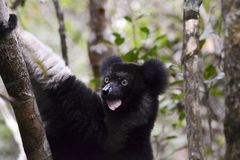 Indri, the largest lemur Stock Photos