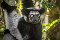 Indri, the largest lemur of Madagascar Stock Photography