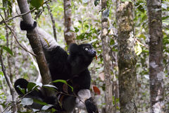 Indri, le più grandi lemure del Madagascar Fotografia Stock