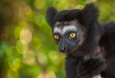 Indri, le plus grand lémur du Madagascar Photographie stock