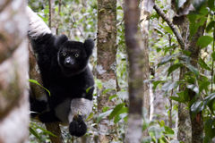 Indri, le plus grand lémur du Madagascar Photographie stock libre de droits