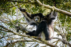 Indri Lemur hanging in tree canopy looking at us Stock Image