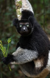 Indri lemur in its natural habitat, the rainforest 0f eastern madagascar . Royalty Free Stock Photo