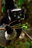 Indri lemur in Madagascar. Indri lemur in its natural habitat, the rainforest of eastern Madagascar. Andasibe rainforest.The Indri is endemic to Madagascar and royalty free stock photo