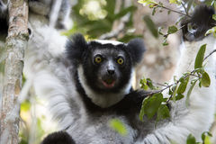 Indri Lemur Portrait Stock Images