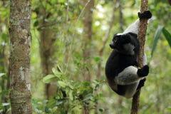 Indri lemur. On the tree Stock Photo