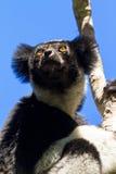 Indri looking Stock Photos