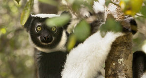 Indri maki Arkivfoton