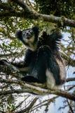 Indri-Maki, der beim Baumüberdachungsschauen hängt Lizenzfreie Stockbilder