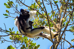 Indri mother and young Royalty Free Stock Photos