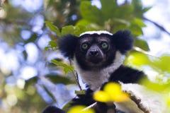 Indri, Nationaal Park andasibe-Mantadia Royalty-vrije Stock Fotografie