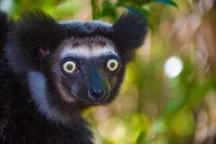 Indri, o lêmure o maior de Madagáscar Imagem de Stock