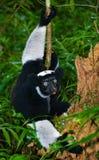 Indri obsiadanie na ziemi w lasowym Madagascar Mantadia park narodowy Fotografia Royalty Free