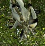 Indri, Indri indri. Indri paar in boom; Indri pair in tree royalty free stock photo