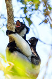 Indri shouting Stock Image