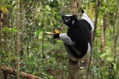 Indri Stock Photography