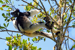 Indri with young. Beautiful image of the Indri lemur (Indri Indri) with baby in Andasibe Mantadia national park in Madagascar Royalty Free Stock Photography